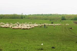 Owce, pasterze i psy pasterskie to stały widok przy trasach Rumunii